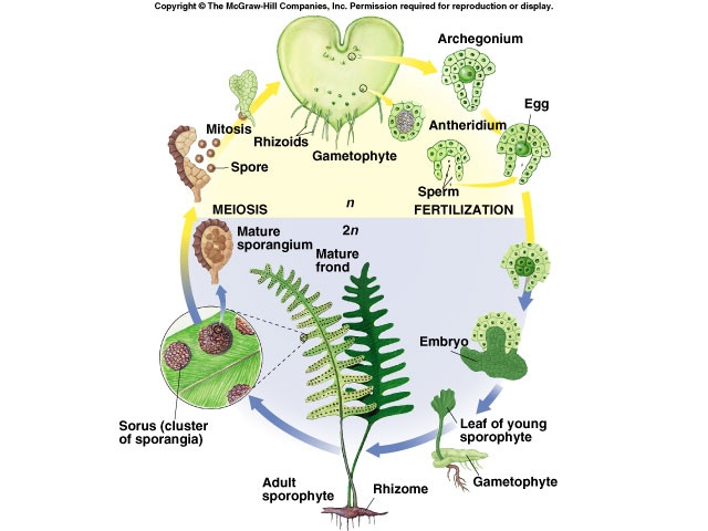 fern life cycle: