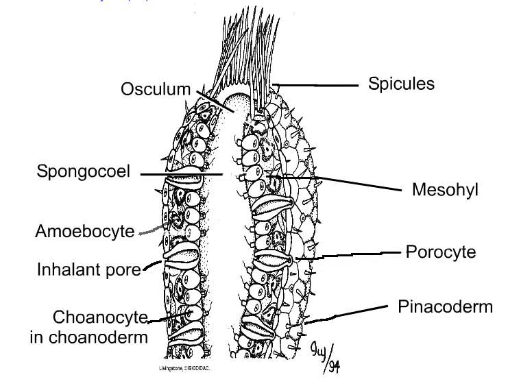 overview of sponges