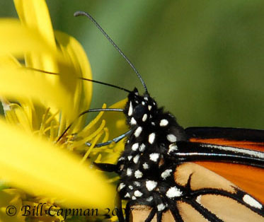 Butterfly Mouth Parts 103